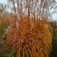 Miscanthus sinensis 'Memory'