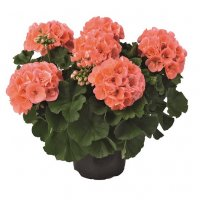 Pelargonium CHAMPION ™ an excellent range of interspecies geraniums!