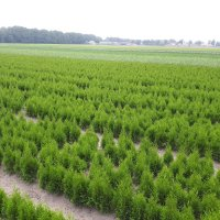 Thuja occ. - bare root cultivation