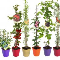 Fruit plants in containers C2