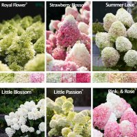 Hydrangea macrophylla Living Creations®