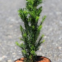 Taxus media 'Rising Star'®