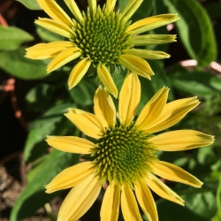 Echinacea purpurea 'Mellow Yellows' - turzyca