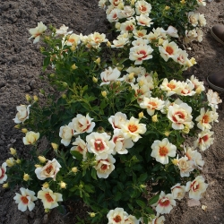 Rosa BABYLON EYES® 'Glorious' - róża