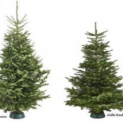 Abies – Christmas trees