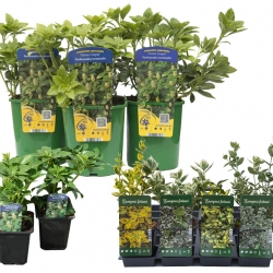 Ground cover plants in P9 pots and C2 containers