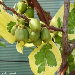 Actinidia arguta HOKEY POKEY® - Plant Novelties Competition 2020